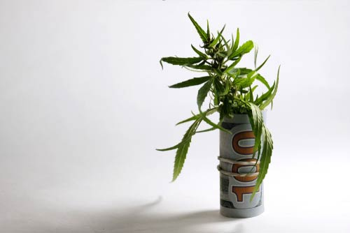 A marijuana plant wrapped in a $100 bill